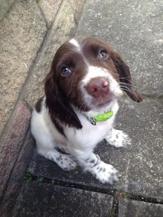 Those Eyes Sprocker Spaniel