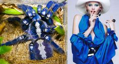 Tarantula azul inspira nova tecnologia de corantes sustentáveis para tecidos - Stylo Urbano #moda #aranhas #tecidos #sustentabilidade