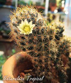 Vista del cactus florecido Mammillaria prolifera
