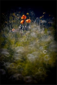 poppies by Magda Wasiczek,this looks so magical, woow! There are many more nature photos on the site.