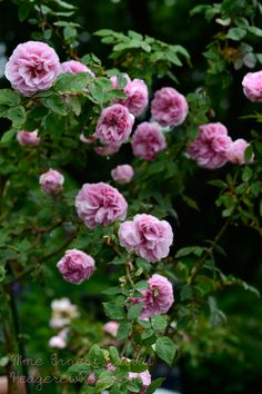 'Madame-Ernest-Calvat'-rose. Sport of Madame Issac Peiriere. 1888. Medium pink Bourbon with a strong fragrance.