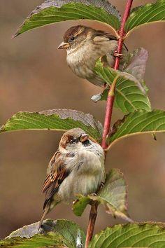 Fluffy little House Sparrows.