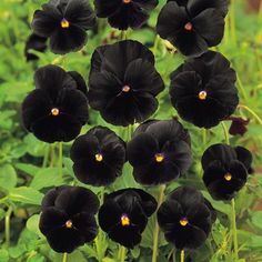Black pansies.
