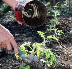 marc de café pour faire pousser les tomates