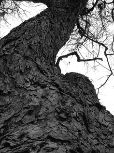 Dallas Twisted Tree