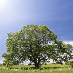 Oak tree, old oak tree with blue sky. Stock Photo