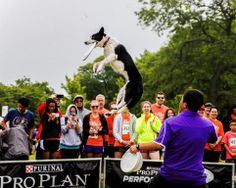 A dog showing off his moves at the Purina Pro Plan Performance Show - Photography by Jonny Blackstone
