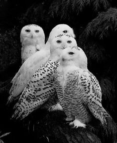 Snowy owl (Bubo scandiacus) A parliament of owls! Beautiful Owl, Animals Beautiful, Animals Amazing, Beautiful Family, Animals And Pets, Cute Animals, Pretty Animals, Wild Animals, Baby Animals