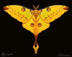 The Comet Moth or Madagascar Moon Moth