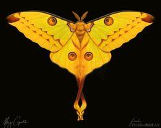 The Comet Moth or Madagascar Moon Moth