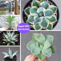 Succulents Cactus New Arrivals including Agave! Shop for your Rare succulents online. Worldwide Shipping. Use Discount code: E10PER esucculent.com Buy Succulents Online, Succulents For Sale, Rare Succulents, Planting Succulents, Pink Mountains, Mountain Rose, Rose Queen, Best Indoor Plants, Baby Finger