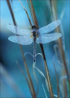 The dragonfly's presence can signal that it's time for a change. Just like the dragonfly changes colors as it matures, you are called to live and experience yourself differently now and then. Always be open to the evolution of your personal journey and the opportunities that lie in...change.