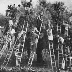 A vintage pic when whole families picked the trees. Olive Oil Benefits, Olive Harvest, Palestine History, Cool Pictures, Beautiful Pictures, Vintage Italy, Bw Photography, Olive Tree, Vintage Photographs
