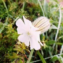 Meadow`s flower.