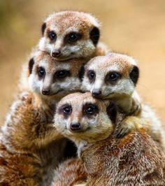 Cette ribambelle de suricats prennent eux aussi la pose de manière étonnante entre amis