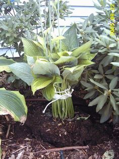 tie hostas and tape when moving/dividing