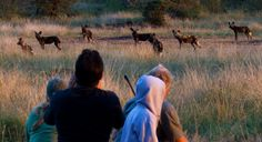 Walking with wild dogs touched at Sosian, Laikipia, Kenya.