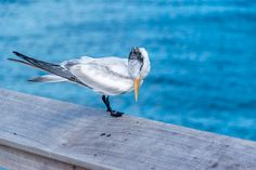 A seagull sits on the railing of the Naples Pier.  || #AlexTonettiPhotography #Photography