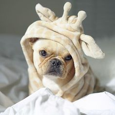 The major breeds of bulldogs are English bulldog, American bulldog, and French bulldog. The bulldog has a broad shoulder which matches with the head. Animals And Pets, Baby Animals, Funny Animals, Cute Animals, French Bulldog Blue, French Bulldog Puppies, French Bulldogs, French Bulldog Clothes, Baby Bulldogs