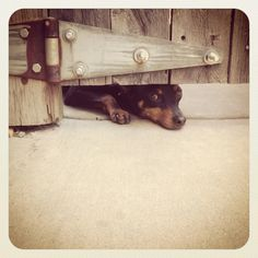 Longing to get out #minpin