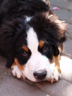 "Bernese Mountain Dog. I recognize that ""pitiful"" look"