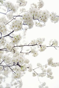 Discovered by Find images and videos about white, flowers and blossom on We Heart It - the app to get lost in what you love. White Flowers, Beautiful Flowers, Flora Flowers, Beautiful Soul, Spring Flowers, Foto Picture, White Cherry Blossom, Cherry Blossoms, Almond Blossom