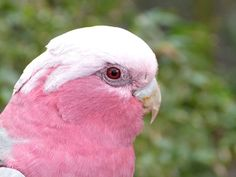 Galah (Eolophus roseicapilla) Cockatoo - Brevard Zoo.  Click through for a sweet and funny picture story of the problems getting this photo!