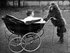 18-month-old show poodle Tzigane Coolan of Jonbir acts as nursemaid to two-year-old Brian Birks, the son of its owner, in the garden of their home in Sunningdale, Berkshire. (Photo by William Vanderson/Fox Photos/Getty Images). 10th November 1956