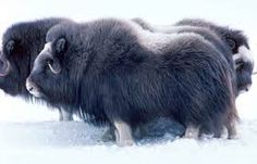 Musk oxen: good view of the body shape and coat, conserving warmth in a harsh, cold environment