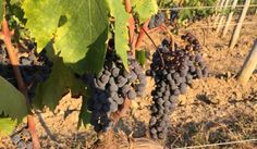 2015 Wine Harvest.  San Polo Montalcino winery will have a good year
