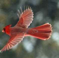 flying cardinal bird