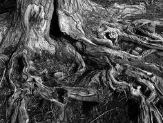 tree_roots_5_by_MoonShadow_DarkRaven.jpg (900×679)