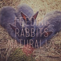 Feeding Rabbits Organically - unlimited hay for roughage, twigs, cornstalks etc.  Grains, alfalfa, timothy, fresh fruit & veg.  FATS- sunflower & flax.  Trace minerals- Azomite (approved for organically raised rabbits) & rabbit salt licks. Does may eat their young if they have a mineral deficiency, so feeding trace minerals will prevent this.......