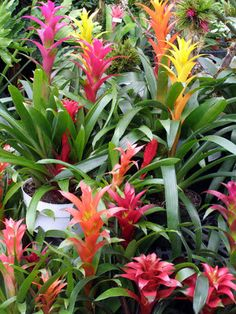 Bromiliads - Growing Bromeliads at Home. Bromeliads are one of the best tropical plants to grow in your home. They are extremely adaptable, tolerating a variety of home environments. Bali Garden, Balinese Garden, Garden Plants, House Plants, Shade Garden, Florida Landscaping, Florida Gardening, Tropical Landscaping, Backyard Landscaping