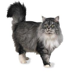 Domestic longhaired cat