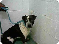 Pointer Mix Dog for adoption in Atlanta, Georgia - ORVILLE