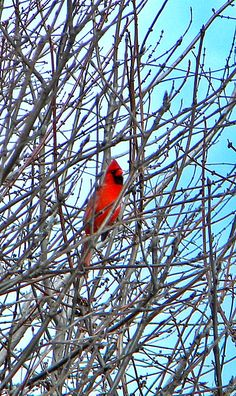 Have two beautiful cardinals living in my backyard ~ what do they like?  Want to keep them there!