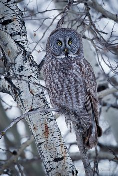 Great Gray Owl By Gerry - (flickr)