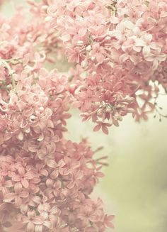 Soft pink lilac