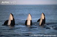 Orca photo - Orcinus orca - A19296 | ARKive