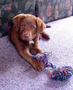 chesador... a labrador and chesapeake bay retriever mix.. give me this dog!