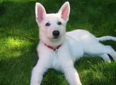 These two white German Shepherds need a new home because their current owners are surrendering them for unbelievable reasons.