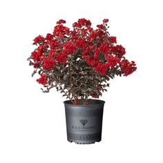 Container Size/Quantity Container/Package Unit Of Measure Black Diamond Crape Myrtle Feature Tree