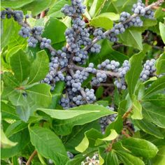 Bayberry (Myrica pennsylvanica)  – nitrogen fixer  – good in poor soil, near the sea, forms thickets at the forest edge  – many virtues — you can even make candles from the waxy berries