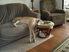 silly greyhound! footstools are for feet ;)