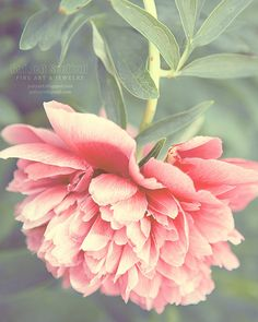 What a dreamy photo! Pink Peony dreamy romantic photograph valentine by GoldenSection, $30.00