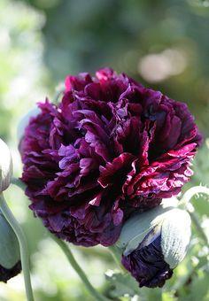 "c Papaver 'Black Peony' ""Black Peony Poppy"". This site has fabulous varieties of poppies. Black Peony, Black Flowers, Beautiful Flowers, Exotic Flowers, Beautiful Gorgeous, Pink Flowers, Plantation, Dream Garden, Garden Inspiration"