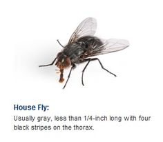 House flies - Call ACT Termite today to solve this problem!
