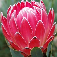 Shop Fabulous Florals' huge selection of fresh-cut wholesale flowers, bulk flowers and DIY wedding flowers and foliage, including Pink Andrea Protea. Hyacinth Flowers, Protea Flower, Cactus Flower, Flower Pots, Flower Bookey, Flower Film, Flower Ideas, Diy Wedding Flowers, Diy Flowers