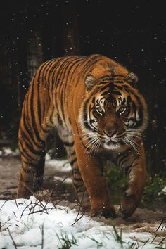 Gorgeous Male Siberian Tiger by Jamila Mancini Beautiful Cats, Animals Beautiful, Animals And Pets, Cute Animals, Save The Tiger, Tiger Pictures, Carnivore, Tiger Art, Wild Creatures